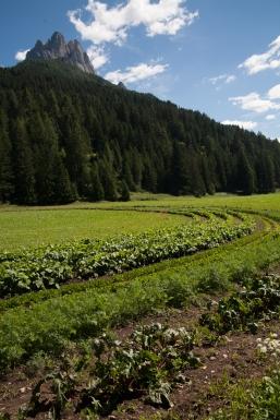 campo di verdure a Pozza