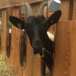 La capra Kalula